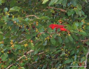 Photo: Summer Tanager, gorging on mulberries, High Island, Texas