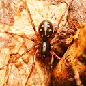 Glossy Black Ant Hunting Spider