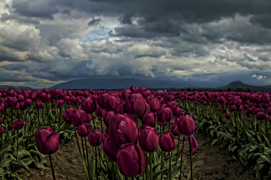 Stormy Field  by Claire Lenahan - Landscapes Weather ( clouds, mountians, flowers, fields )