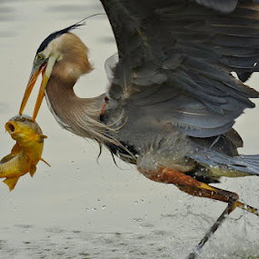 Great Blue Heron catching dinner by Mike Scott - Animals Birds ( great, blue, gbh, fishing, heron )