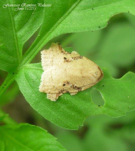 Tortricid Moths