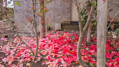 Photo: Red and pink fallen petals in a garden in Ōizumi, Ōra District, Gunma Prefecture. Read more about Oizumi: http://japanvisitor.blogspot.jp/2015/04/oizumibrazil-in-japan.html
