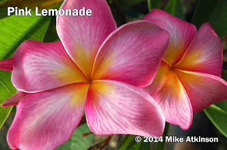 Photo: Pink Lemonade - San Diego, CA - East San Diego county