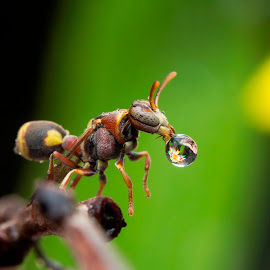 Wasp 160722A by Carrot Lim - Animals Insects & Spiders ( reflection, macro, wasp, waterdroplet, colours )