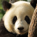 Panda De LWP icon