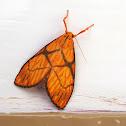 Cruciata Lichen Moth