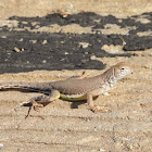Chihuahuan Greater Earless Lizard
