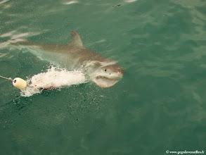Photo: #008-Ils sont très agressifs.