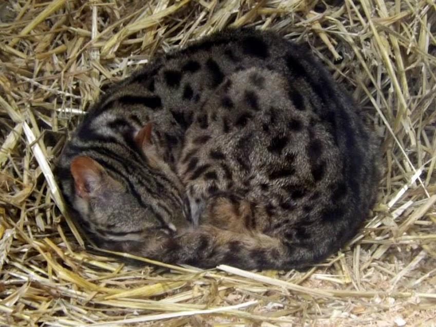 Chat léopard, Refuge de l'Arche - Tous droits réservés