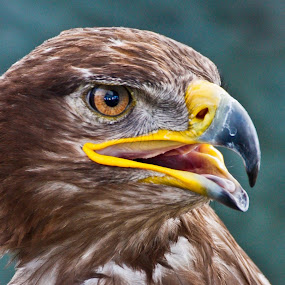 Raptor by Deleted Deleted - Animals Birds