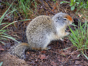 Photo: This is a ground squirrel! They were everywhere at Two-medicine campground
