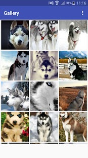 New HD Cute Siberian Husky Wallpapers - náhled