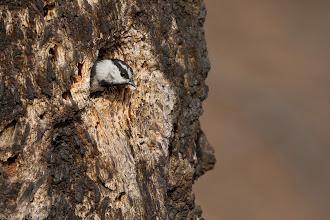 "Photo: ""Who's out there?"" - Mountain Chickadee, Nine Mile Falls, WA"