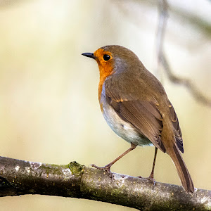 Robin (7).jpg
