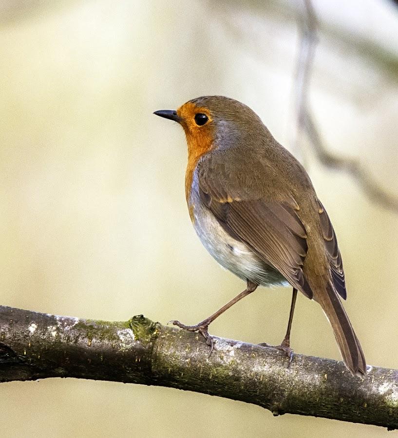 Robin by Robert Hennefer - Animals Birds (  )