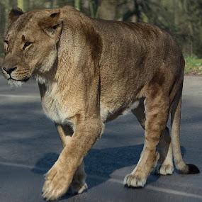 @nikontop_ @nikontop by Sue Tydd - Animals Lions, Tigers & Big Cats ( nikon, nikond5200, nikontop_, wildlife, wildlifephotography, safaripark, safari, knowsleysafaripark, knowsleysafari, lions, nikonphoto, nikonphotography )