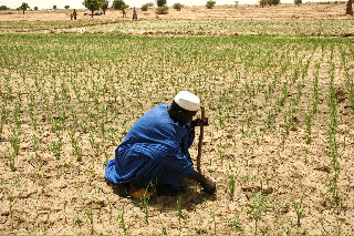 Photo: Timbuktu, Mali, West Africa. 2008. A farmer checks the rice plants in his field. [Photo by Erika Styger]