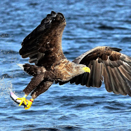 White tailed eagle by Roald Heirsaunet - Animals Birds
