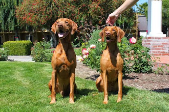 Photo: Retro & Lila enjoying a photo shoot together while in CA for the VCA Vizsla Nationals. Proud parents of Akela.