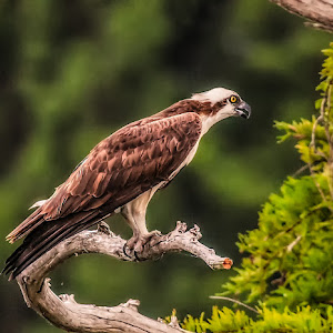 Osprey-Perch-W707.jpg