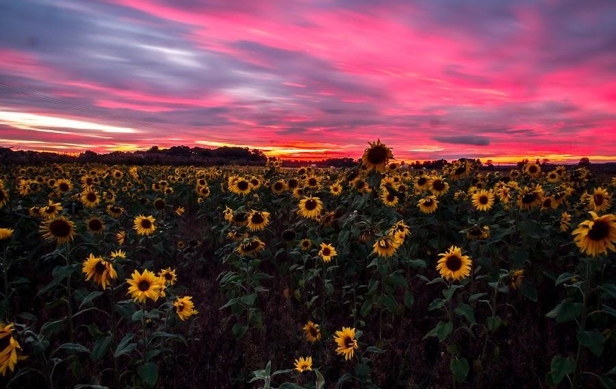Sunflowers at Sunset by Paul Masterton - Flowers Flower Gardens ( scotland, edinburgh, sunset, sunflowers, flowers, fields )