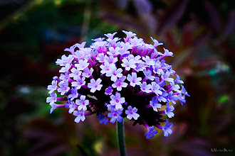 Photo: ...purple magic...  I'm so happy to say: Happy Friday to you ALL :))))  Beautiful floral photography showing on my stream today. It makes my day filled with joy! This is a photo I took during the +Scott Kelby Worldwide Photo Walk in Chicago on my way to the LP ZOO...so Have a Purple Friday, Everyone :)  My contribution to #floralfriday  +FloralFriday big thanks to +Tamara Pruessner; #purplecircle  +PurpleCircle with thanks to +Lynn Langmade and +Sinead Sam McKeown; #breakfastclub  +Breakfast Club by +Gemma Costa and +Andrea Martinez; #10000photographersaroundtheworld +10000 PHOTOGRAPHERS around the World by +Robert SKREINER; #canon   #canonusers +Canon Users; #plusphotoextract   #PlusPhotoExtract   #photography #potd  View larger image and more works from Purple/Pink Floral Gallery: http://milenailieva.smugmug.com/Galleries/PurplePink/23921477_zBmsRT#!i=2160119444&k=WNNZzJn