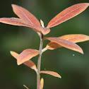 Velvetleaf Milkweed