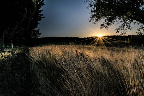 Spighe al tramonto di AndreaCio