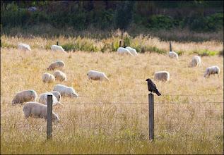 Photo: Bird N°39 Common Buzzard Latin: Buteo buteo