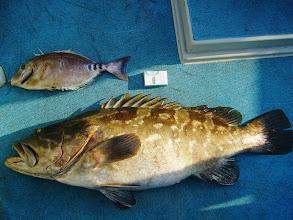 Photo: 大きさ比較です! サンノジ、アラの腹の中にあったら24kgだったのに・・・