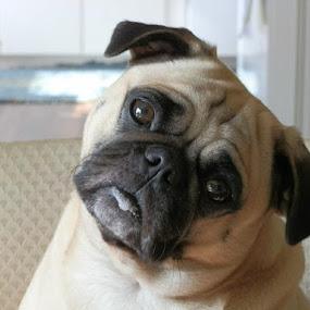 Winston by Ingrid Bjork - Animals - Dogs Portraits (  )