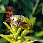 Escarabajo metálico dorado