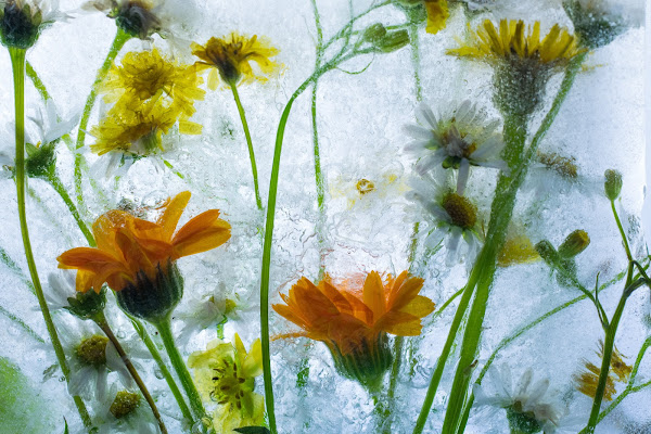 Frozen Flowers#3 di Cperso
