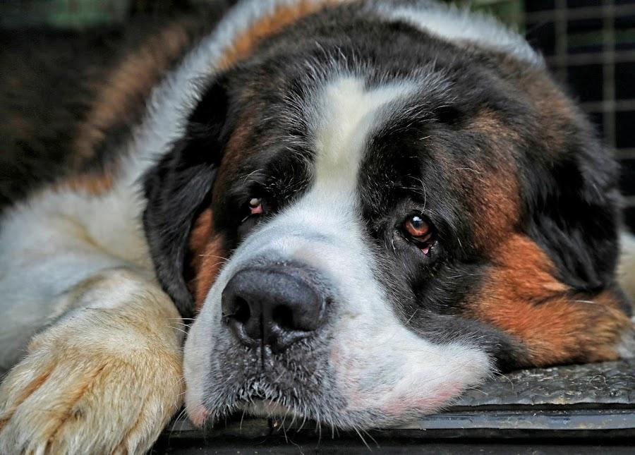 lazy by Joy Jose Casusi - Animals - Dogs Portraits ( st. bernard, lazy, big, dog, saint )