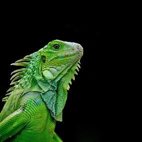 iguana-iguana by Dmitry Samsonov - Animals Reptiles ( canon, walking, green, iguana, color, colors, landscape, portrait, object, filter forge,  )