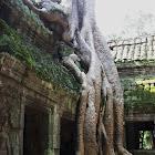 Giant strangler trees