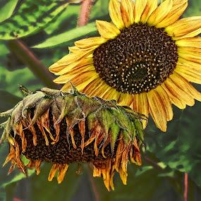 Sunflower by Patti Reddoch - Nature Up Close Flowers - 2011-2013
