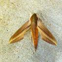 Sphinx moth.