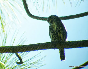 Photo: Adult Northern Pygmy-Owl at Calliope Crossing, Indian Ford Creek, Sisters, OR