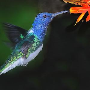 Bicolor hummingbird.jpg