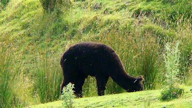 Photo: half-camel half-sheep animal