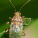 Scentless Plant Bug