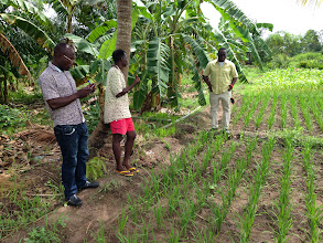 Photo: Kokou Joseph Adokanou, center, has conduced several seasons of SRI trials on his fields, and is experimenting now with using SRI principles on other crops such as maize. Adokanou held farmer field exchanges at his fields, helping to widely spread SRI throughout the Zio River Valley region. He and his former Peace Corps volunteer counterpart attended a regional Peace Corps training in Benin in September, 2012 (where Jean Apedoh was one of the trainers), and planned and led a national SRI training in Togo in 2013 in collaboration with Peace Corps and Jean Apedoh. Photo by Devon Jenkins, Togo, March, 2014.