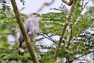 Photo: Gray-lined Hawk