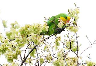 Photo: Superb Parrot feeding on Elm