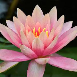 Lily 9901~ 1 by Raphael RaCcoon - Flowers Single Flower