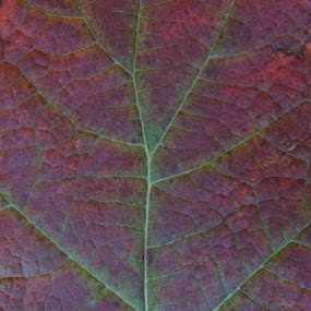 Leaf by VAM Photography - Nature Up Close Leaves & Grasses ( nature, colors, changing, places, leaf )