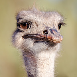 Ostrich by Dave Lipchen - Animals Birds ( ostrich )