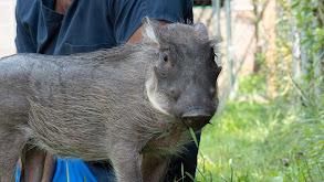 A Warthog Named Peaches thumbnail