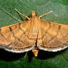 Bean-leaf webworm moth